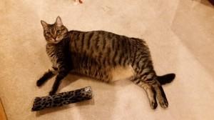 Marvin - Adoptable Senior Cat Beau's Bridge Club